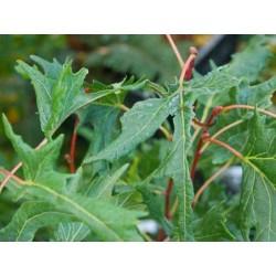 Tilia platyphyllos 'Laciniata'