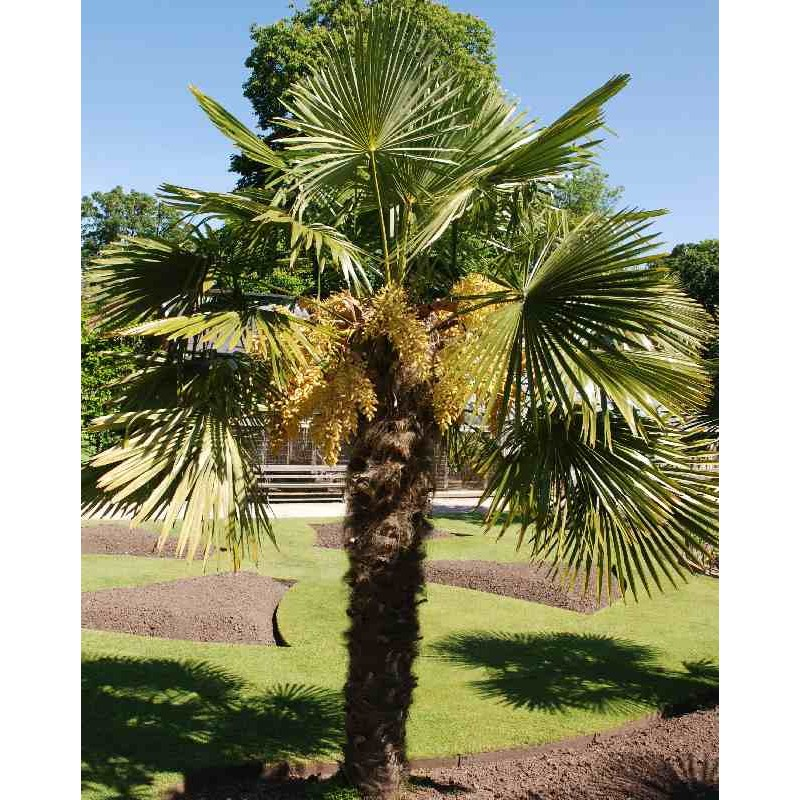 Trachycarpus fortunei - established tree