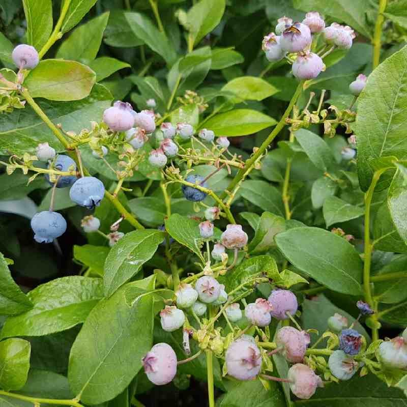 Vaccinium corymbosum 'Bluecrop'