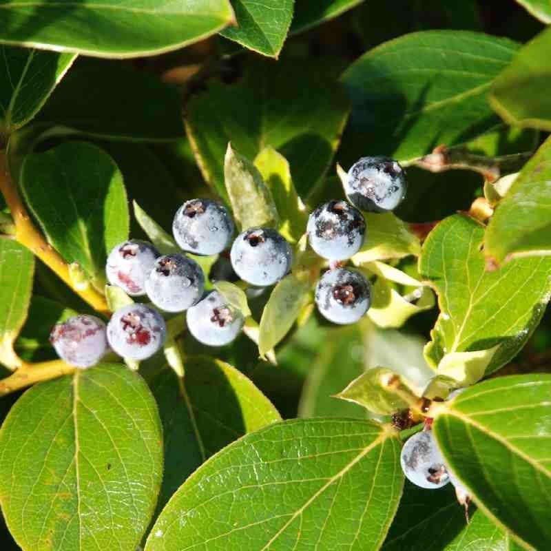 Vaccinium glaucoalbum - berries