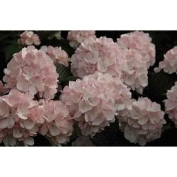 Viburnum plicatum 'Rosace'