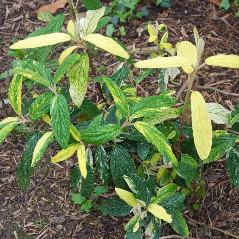 Viburnum rhytidophyllum 'Variegatum'