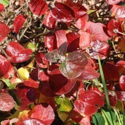 Viburnum x juddii autumn colour
