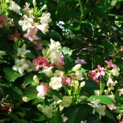 Weigela coraeensis