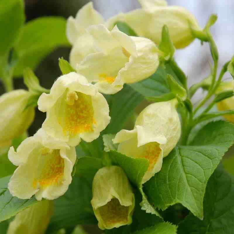 Weigela middendorffiana - creamy-yellow summer flowers