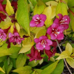 Weigela florida 'Jean's Gold' - golden leaves and pinkish-red flowers