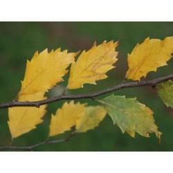 Zelkova x verschaffeltii autumn colour