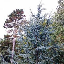 Cedrus libani subsp atlantica 'Glauca'