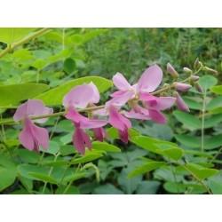 Indigofera kirilowii - summer flowers