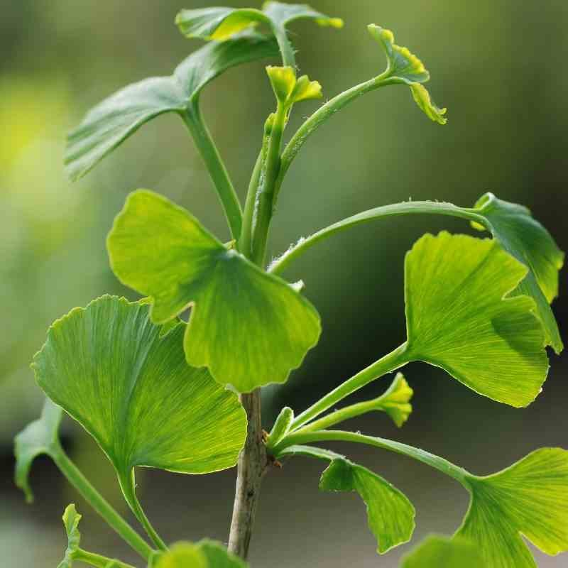 Ginkgo biloba 'Jade Butterflies'