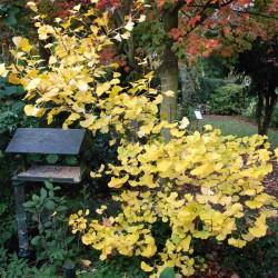 Ginkgo biloba 'Variegata' - autumn colour