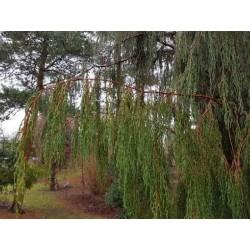 Juniperus recurva var coxii