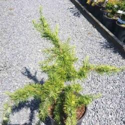 Larix decidua 'Little Bogle' - young plant with summer leaves