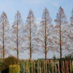 Metasequoia glyptostroboides - windbreak