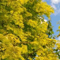 Metasequoia glyptostroboides 'Goldrush'