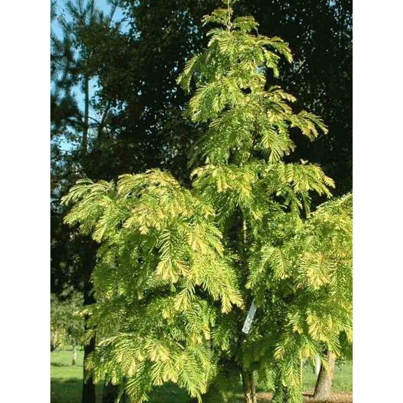 Metasequoia glyptostroboides 'Matthaei Broom'