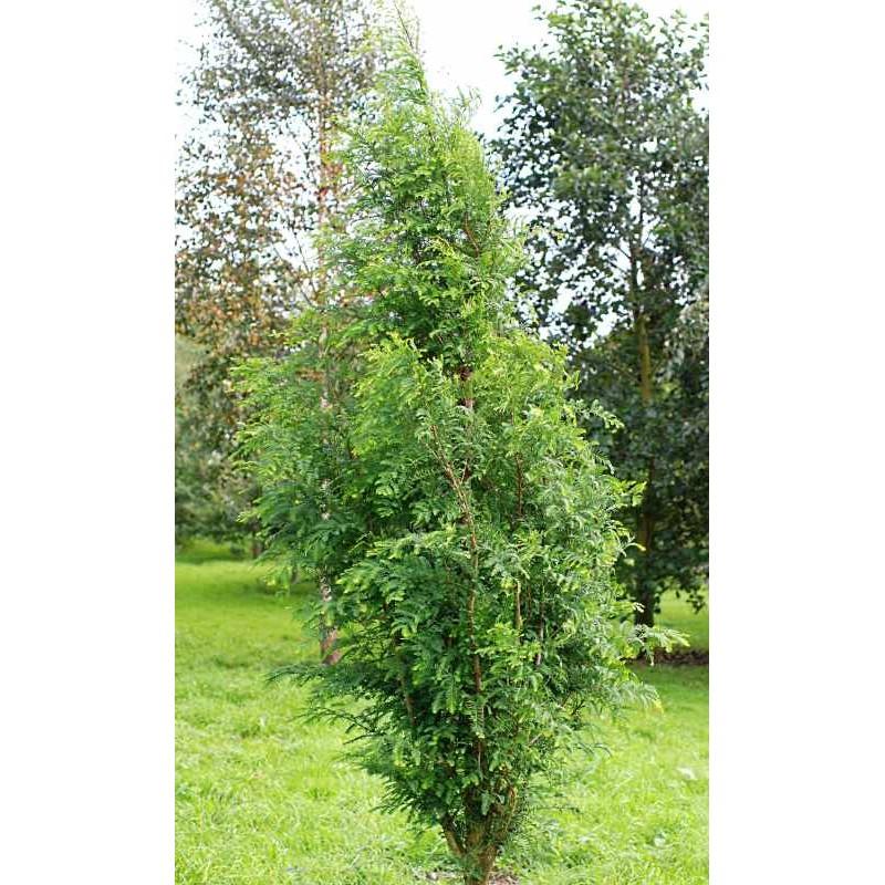 Metasequoia glyptostroboides 'Waasland'