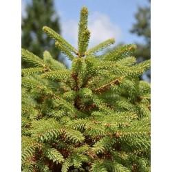 Picea meyeri