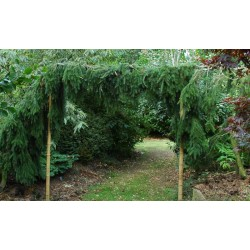 Picea omorika 'Pendula' - 2 plants grown over an arch, one on either side