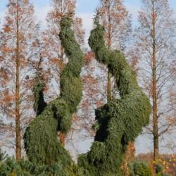 Picea omorika 'Pendula' - very mature branching specimen