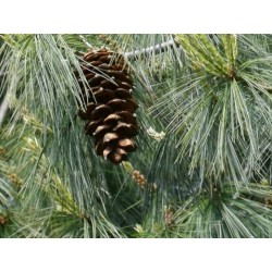 Pinus armandii