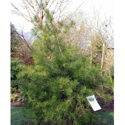 Pinus bungeana - approx 8 years old