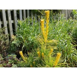 Pinus parviflora 'Goldilocks'