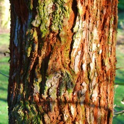 Sequoia sempervirens - bark