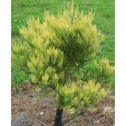 Sequoiadendron giganteum 'Bultinck Yellow'