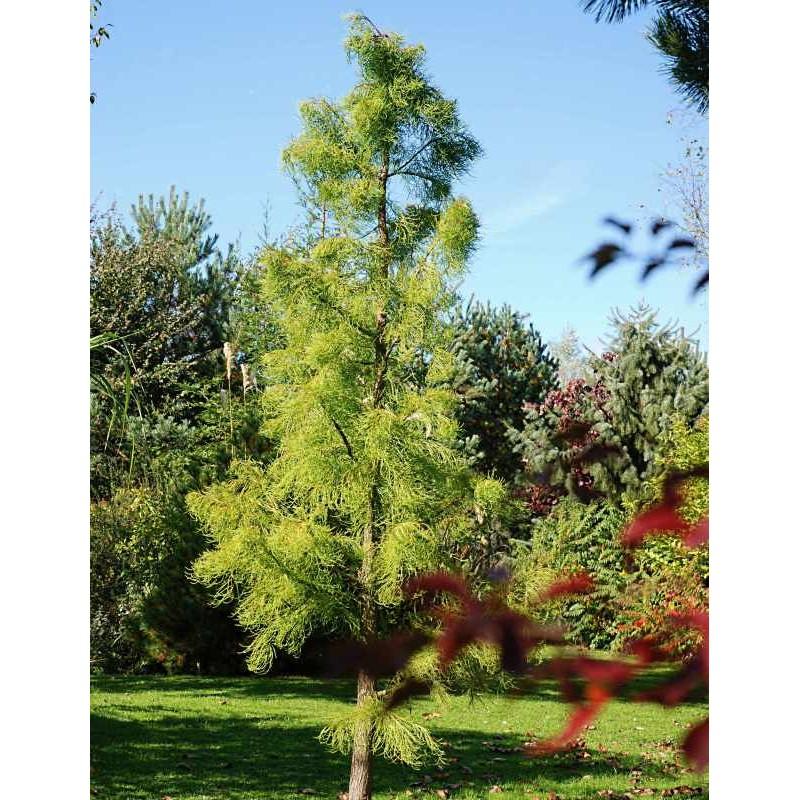 Taxodium ascendens 'Nutans'