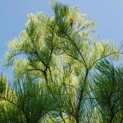 Taxodium ascendens 'Nutans' - looking up into branches