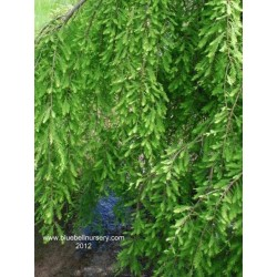 Taxodium distichum 'Cascade Falls'