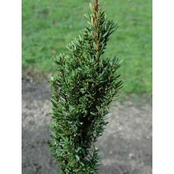 Taxus baccata 'Great Column'