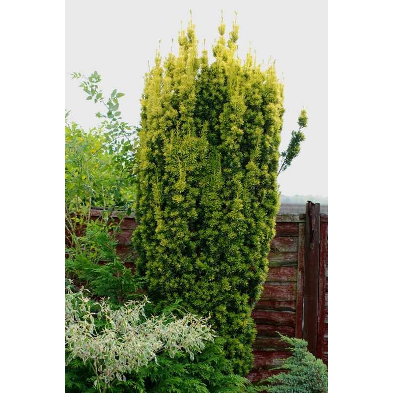 Taxus baccata 'Standishii'