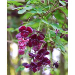 Akebia quinata - spring flowers