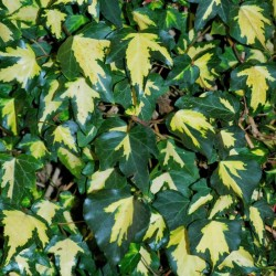 Hedera helix 'Gold Heart' - variegated leaves