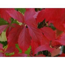 Parthenocissus quinquefolia 'Engelmannii'  - autumn colour