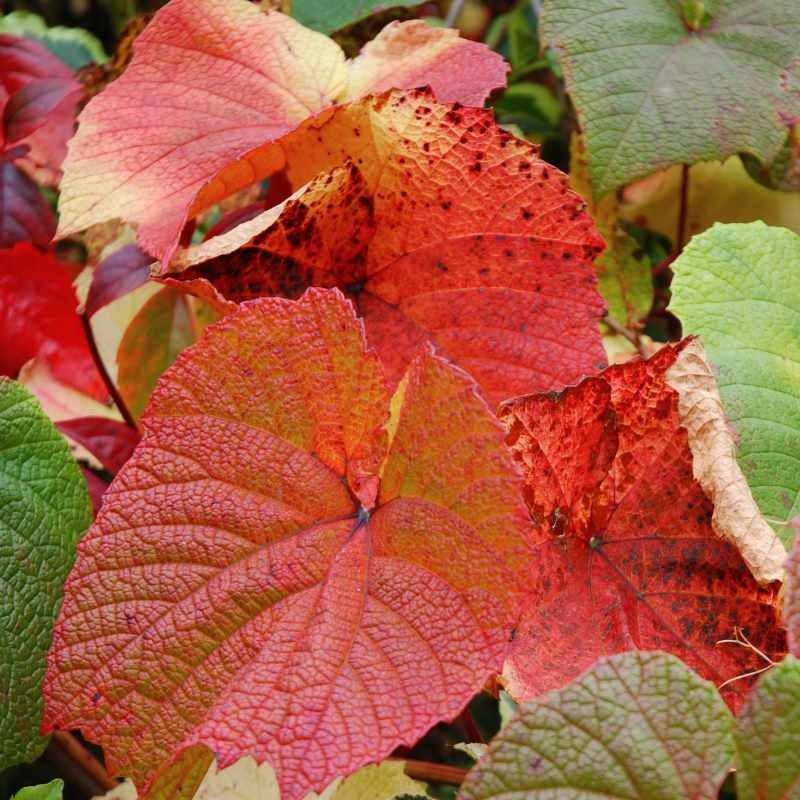 Vitis coignetiae - autumn colour close up