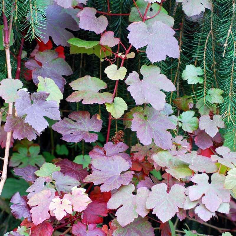Vitis vinifera 'Purpurea' - summer leaves