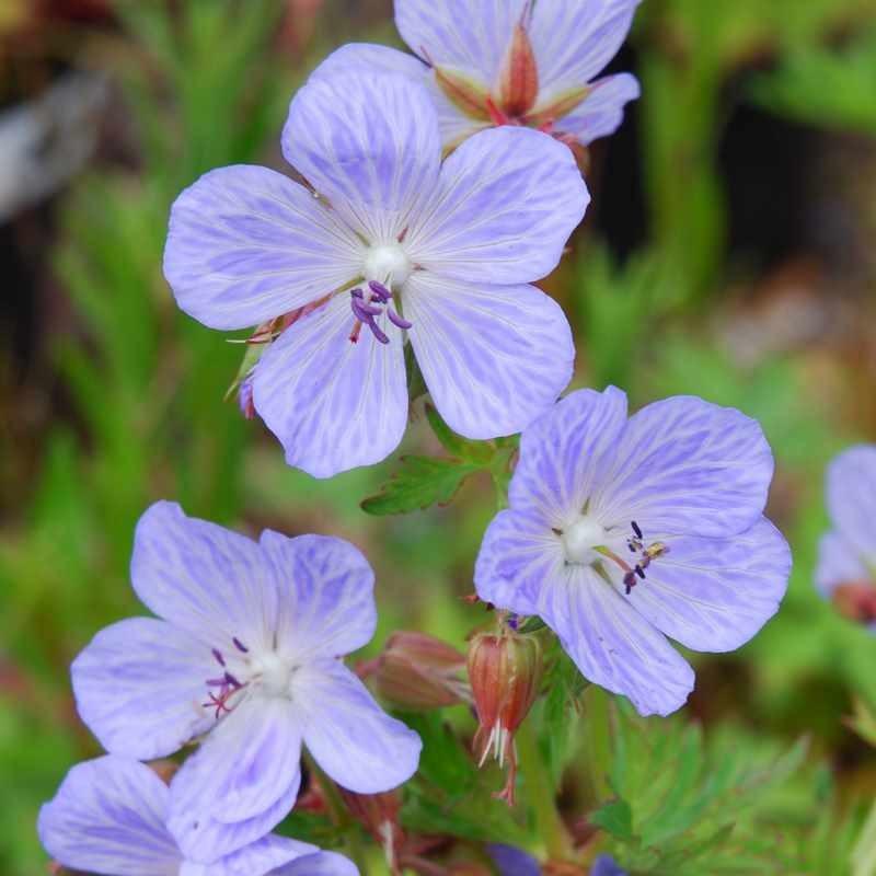 Geranium pratense 'Mrs Kendall Clark'