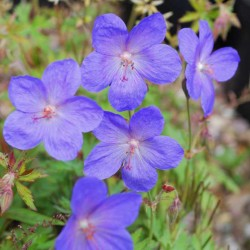 Geranium x 'Johnson's Blue'