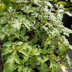 Artemisia lactiflora 'Guizhou Group'