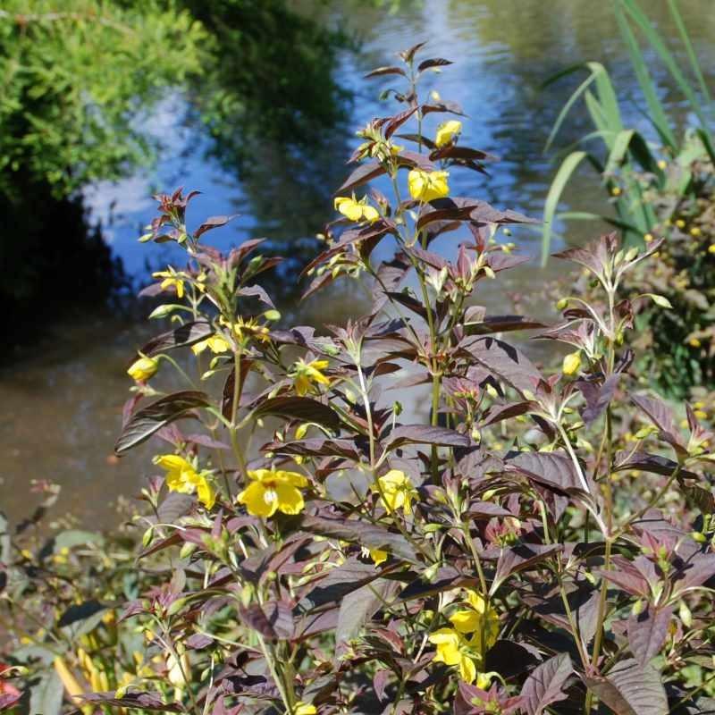 Lysimachia ciliata 'Firecracker' - growing by pond