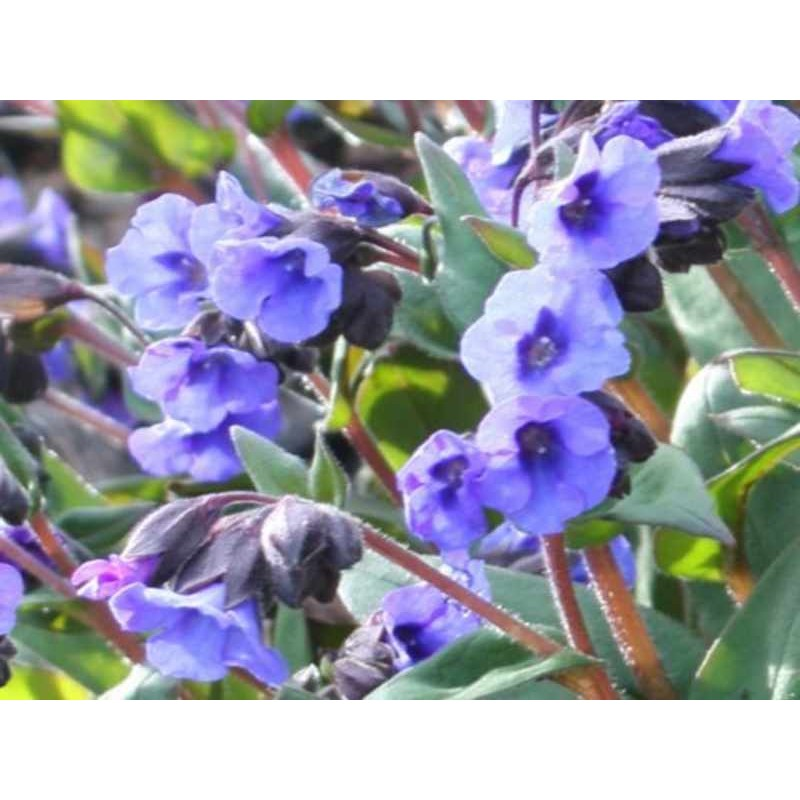 Pulmonaria 'Blue Ensign' - spring flowers