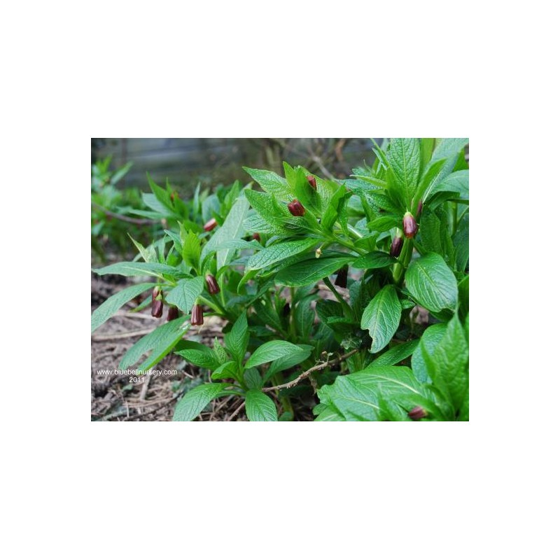 Scopolia carniolica