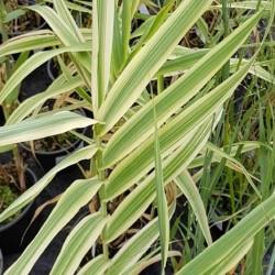 Arundo donax var versicolor