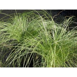 Carex comans 'Amazon Mist'