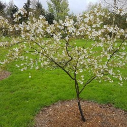Amelanchier x grandiflora 'Princess Diana' - spring flowers