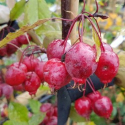 Malus 'Red Obelisk'