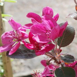 Malus x 'Harry Baker'